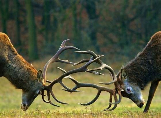 ciervos.jpg